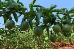 Huyện miền núi Hướng Hóa xóa đói thành công nhờ trồng chanh leo