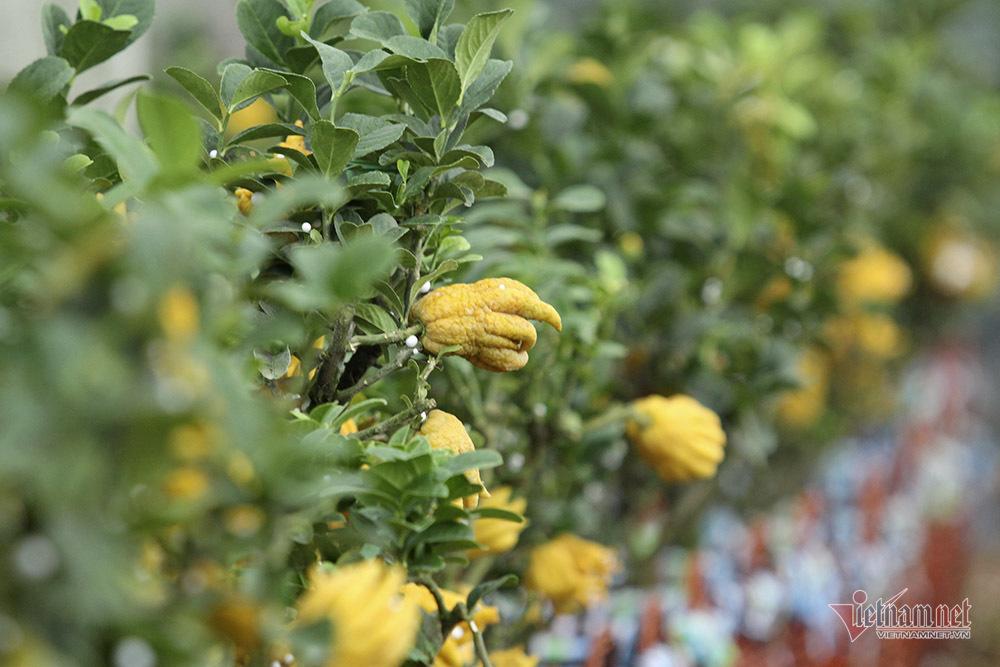 Xã Yên Phú có ăn, có mặc nhờ tập trung trồng phật thủ