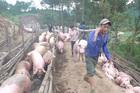 Cấmxuất lợn sang Trung Quốc, giải thích từ Bộ NN&PTNT