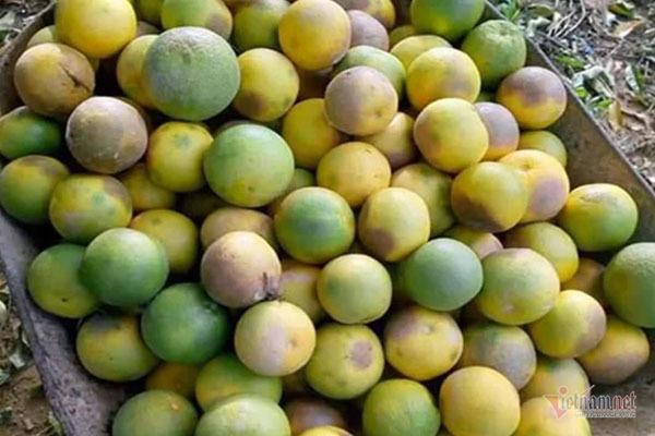 Hàng chục tấn cam đặc sản rụng tả tơi giữa vụ thu hoạch