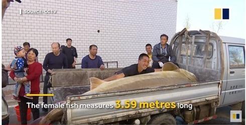 Trúng số: Câu được cá tầm khủng 100 tuổi, dài 3,59m, nặng nửa tấn