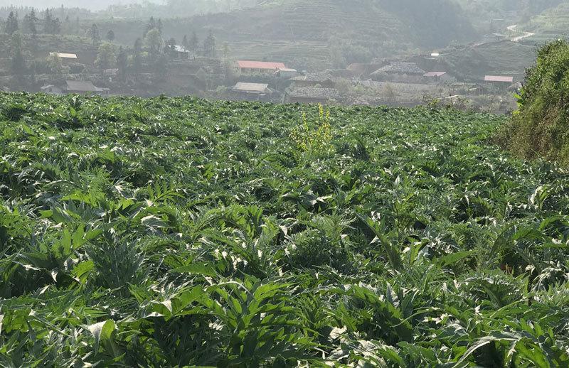 Cả làng đổi đời nhờ trồng actiso