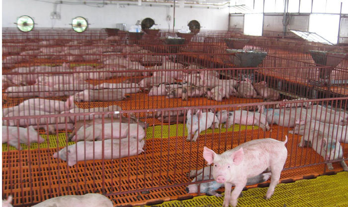 An Giang hỗ trợ lợn giống cho người dân tái đàn sau dịch tả lợn châu Phi