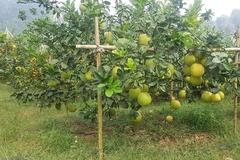 Nông dân bỏ vốn, trồng bưởi thoát nghèo ở huyện Tân Lạc