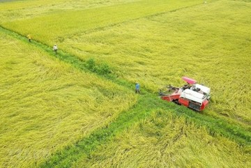 Northern Vietnam aims for 7 million tonnes of paddy in winter crop