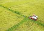 Mekong Delta gets bumper crop despite saline intrusion