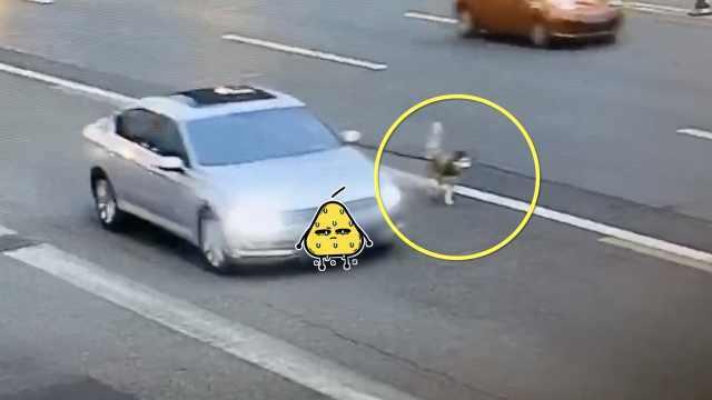 Chuyện lạ: Ô tô chạy trên cao tốc, buộc dây xích dắt chó chạy dạo