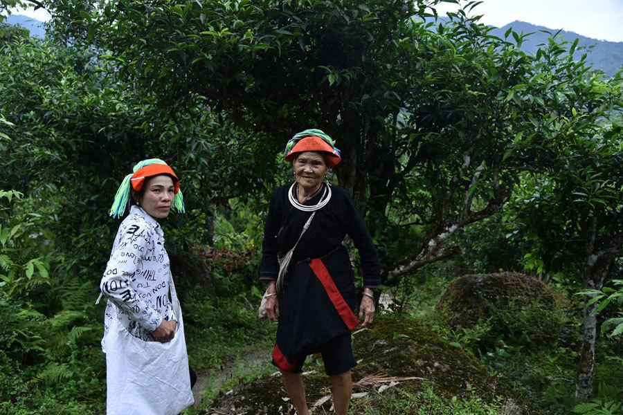 Trồng chè hữu cơ, chị Lý Thị Dầu cùng gia đình thoát nghèo thành công