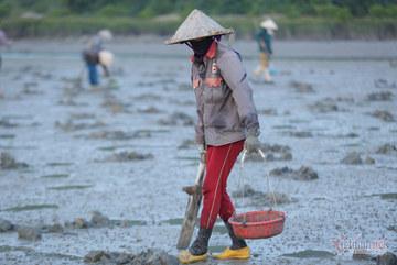 Đội nắng vác mai đi đào 'vàng biển', mỗi ngày thu tiền triệu
