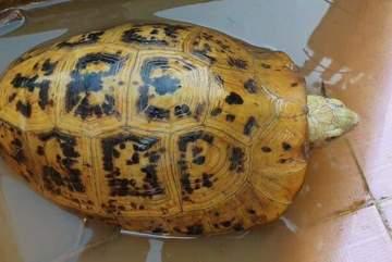 Bắt được rùa vàng lạ mắt trên sông Đồng Nai