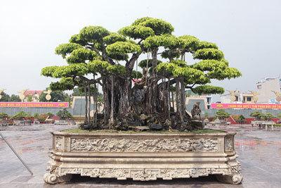 'Siêu cây' Việt khách Nhật trả 460 tỷ không bán: Chủ nhân nói gì?