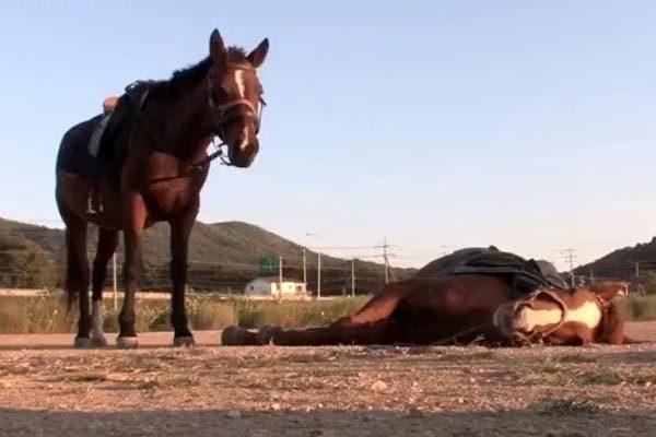 Chú ngựa tinh quái liên tục giả chết để khỏi bị cưỡi