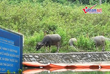 Gia súc chăn thả ở kênh nước sạch nhà máy sông Đà sau sự cố nhiễm dầu