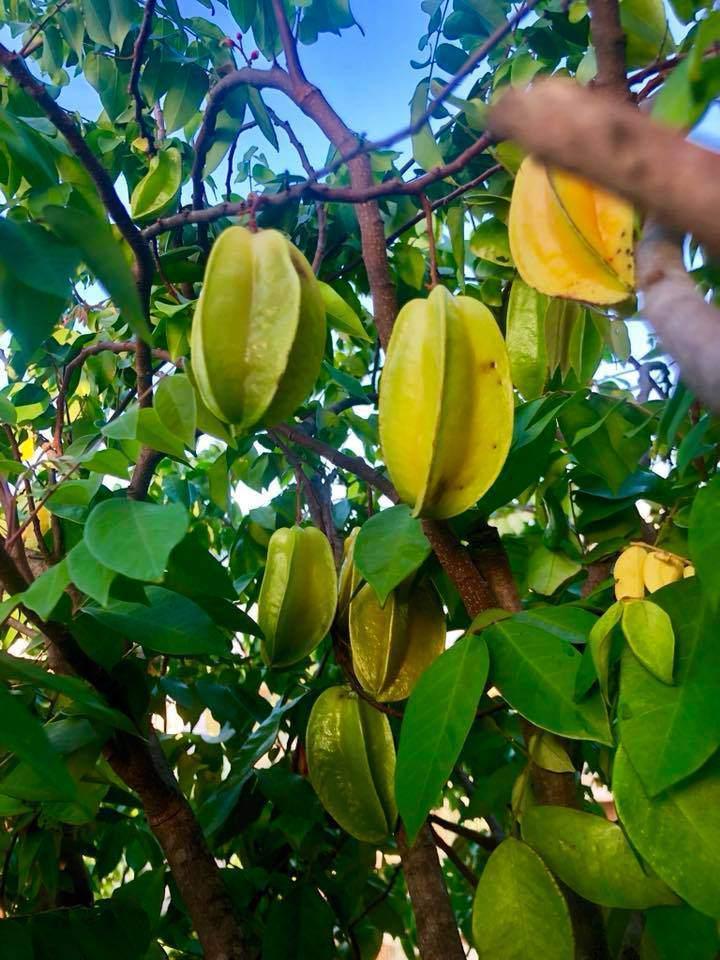 Trái ngọt sai trĩu trên sân thượng biệt thự nhà Lý Hải - Minh Hà