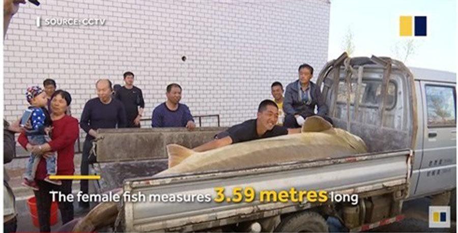 Buông câu trên sông được cá tầm 100 tuổi, dài 3m nặng nửa tấn