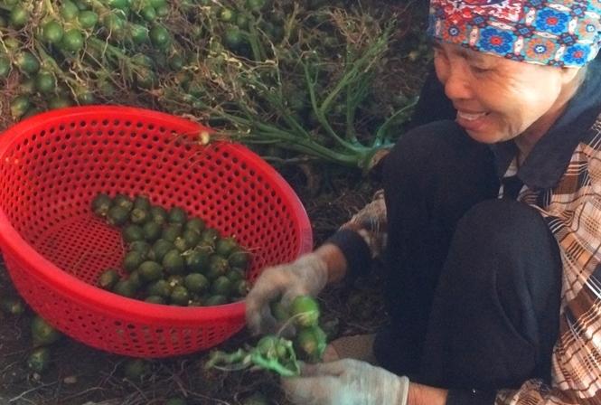 Duy nhất Việt Nam, ngôi làng trồng loại quả bán sang Trung Quốc thu 1.000 tỷ