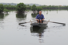 Ha Long mangrove forests disappear as urbanization speeds up