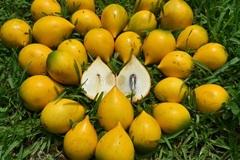Cây 'lưỡng tính' từng mọc dại khắp rừng, nay thành 'mỏ vàng' bán 1 triệu/kg quả