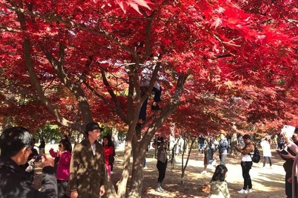 Khách Việt trèo cây, tạo dáng chụp ảnh ở Hàn Quốc