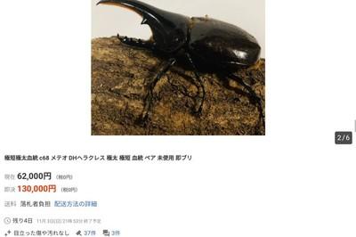 Bọ hung bán giá hơn 27 triệu đồng một con tại Nhật