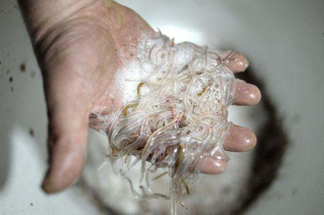 Khách Trung Quốc bị tù vì giấu 60 kg lươn còn sống trong hành lý