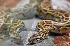 Người phụ nữ bị trăn siết cổ trong ngôi nhà nuôi hàng trăm con rắn