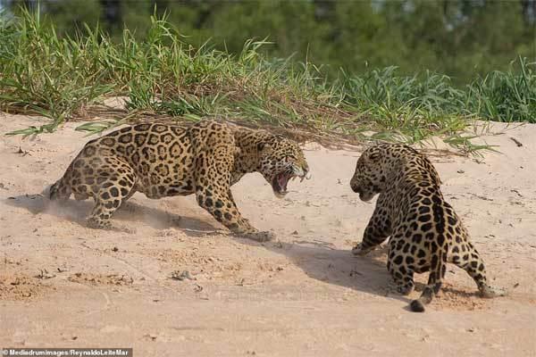 Báo đốm quần nhau ác liệt để giành lãnh thổ