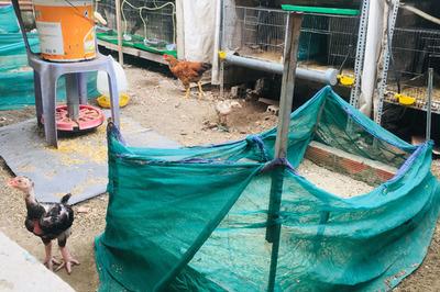 Gia đình Sài Gòn nuôi gà trên 10 ngôi mộ người thân trước cửa nhà