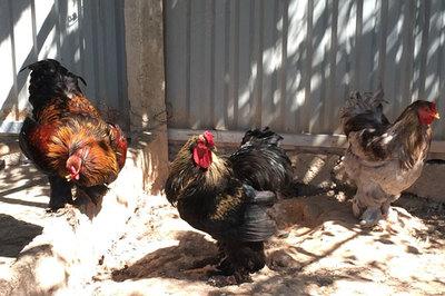 """Chiêm ngưỡng giống gà kỳ lân """"khổng lồ"""" chân 5 ngón, giá tiền triệu ở Việt Nam"""