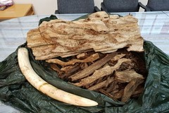 Elephant tusk and aloeswood seized at Tan Son Nhat International Airport