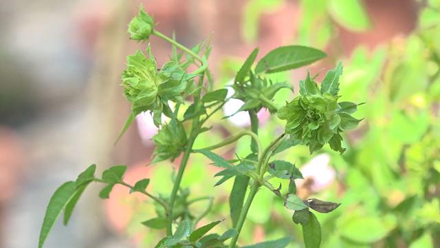 Đồng Tháp: Phát sốt với loài hoa hồng xanh được ví là hồng bất tử