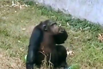 Xem vượn phì phèo thuốc lá trong sở thú