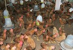 Vietnamese chicken farmers incur big losses due to oversupply