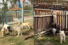 Lợn vào chuồng làm loạn, sư tử hoảng hốt chạy trốn
