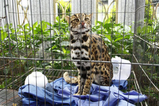 Wildcat sent to rescue centre