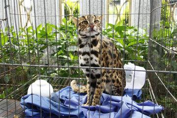 Wildcat sent to rescue centre