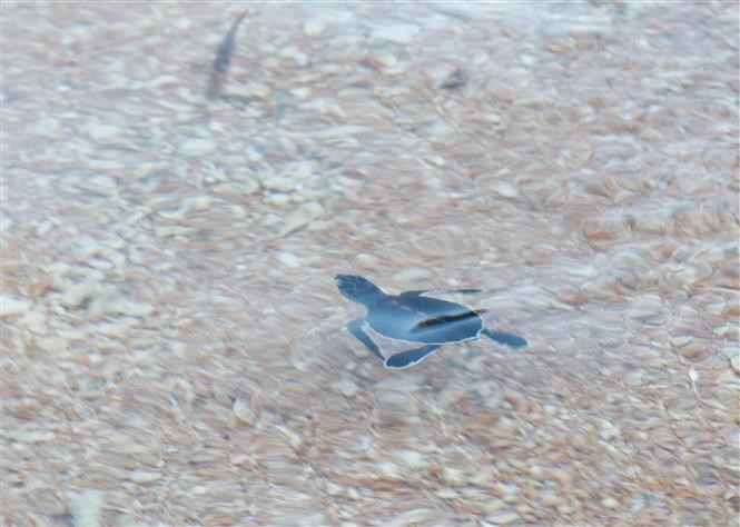 Ninh Thuan rescues, releases over 1,500 turtles to sea