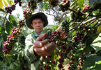118,202ha of old coffee trees replaced in Central Highlands