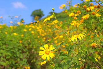 Mê mẩn ngắm hoa dã quỳ vàng rực trên núi lửa Chư Đăng Ya