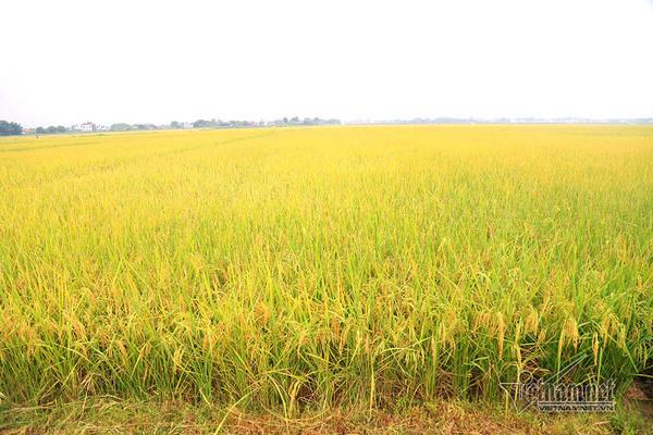 Ngày càng nhiều cánh đồng lớn nhờ phong trào nông thôn mới