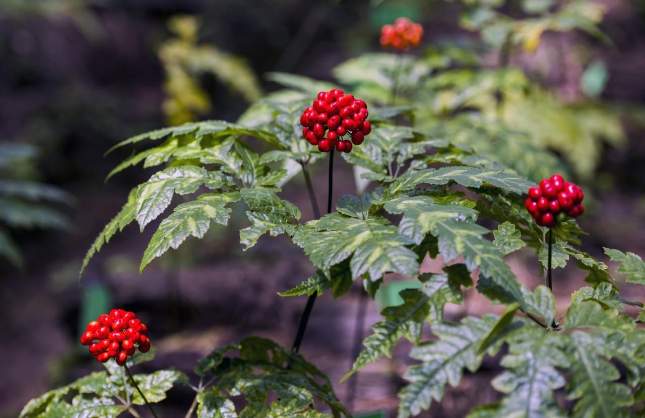 Identifying 'chemical fingerprints' of herbs at Hoang Lien mountain range