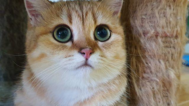 Nuôi con mèo 160 triệu, ăn pate gan gà, dinh dưỡng yến mạch