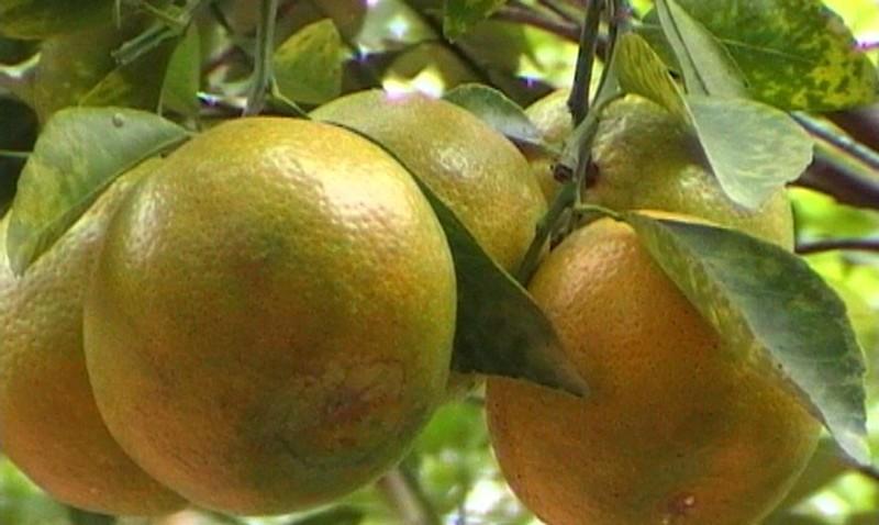tư vấn tiêu dùng,cam,cách chọn hoa quả