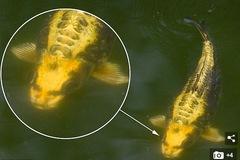 Sởn gai ốc nhìn cá chép có mặt người bơi lội tung tăng
