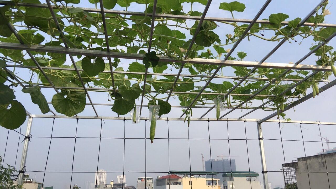 Sân thượng rau quả sạch xanh tươi bốn mùa của bà mẹ hai con ở Hà Nội