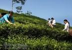 Vietnam exports 14,200 tonnes of tea to Taiwan in nine months