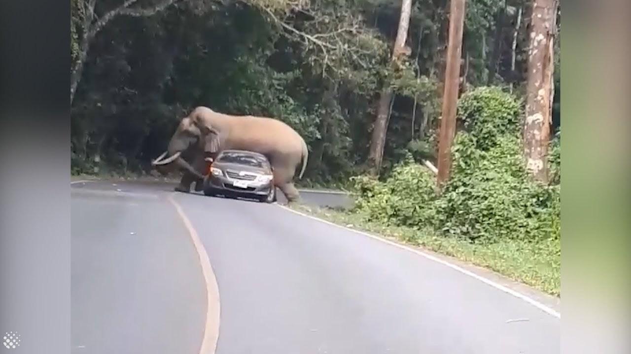Hoảng hồn voi rừng tấn công ô tô tại Thái Lan