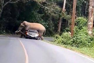 Phát hoảng vì bị voi chặn đường, đè nát xe