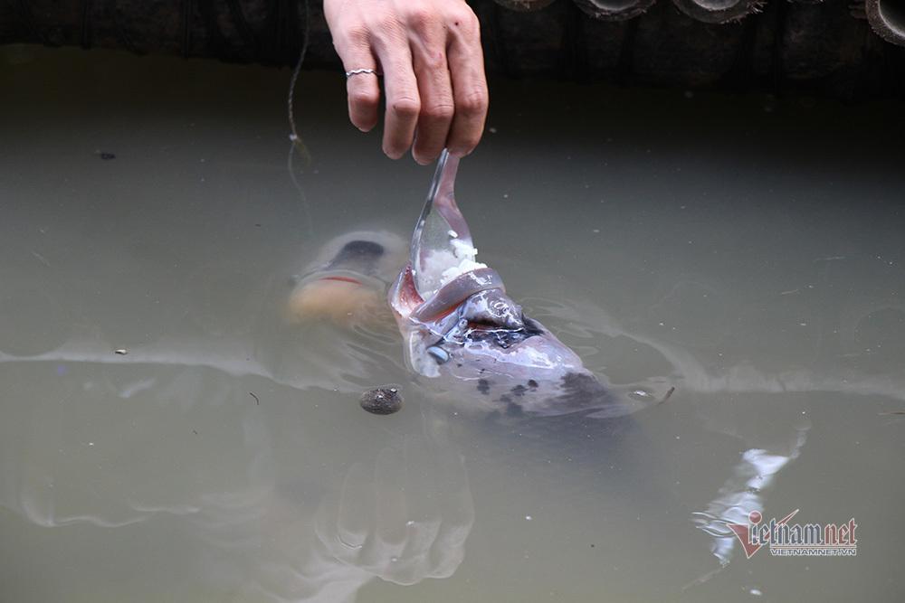 cá tai tượng,nuôi cá,Cần Thơ