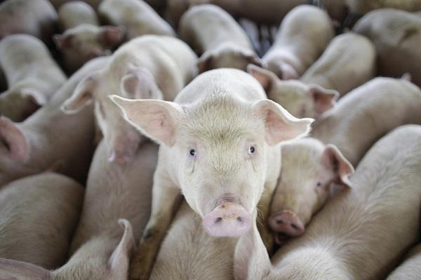 Dân TQ 'đói' thịt lợn, thế giới rung lắc dữ dội